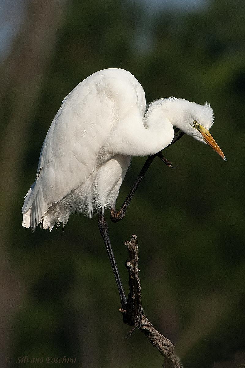 Airone bianco maggiore - (Egretta alba)
