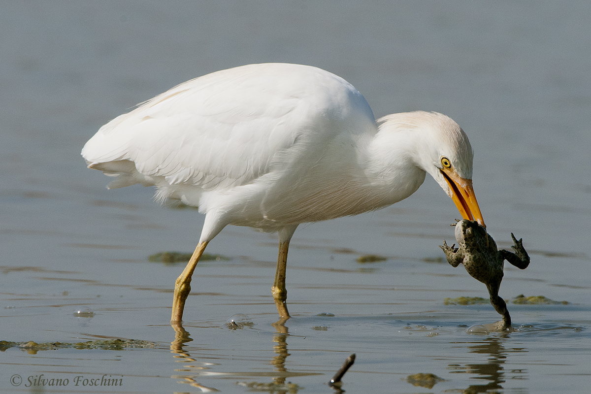 Airone guardabuoi (ardeola ibis)