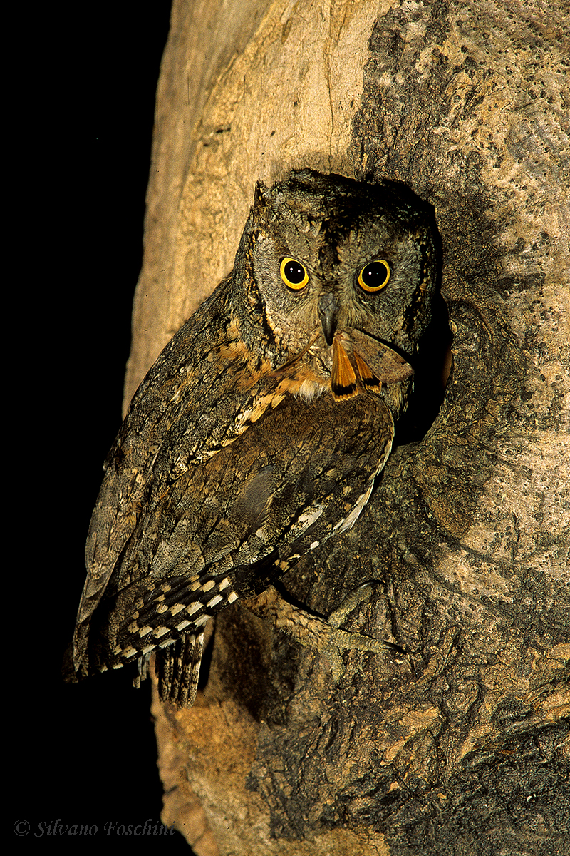 Assiolo (Otus scops)