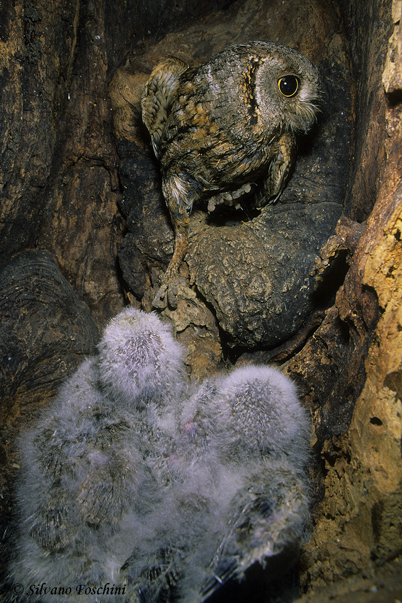 Assiolo nel nido (Otus scops)