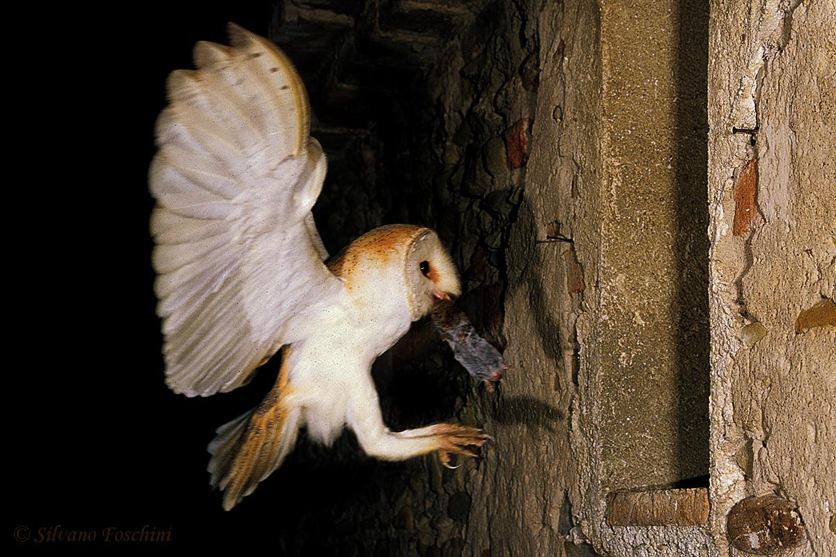 Barbagianni arrivo al nido (Tyto alba)