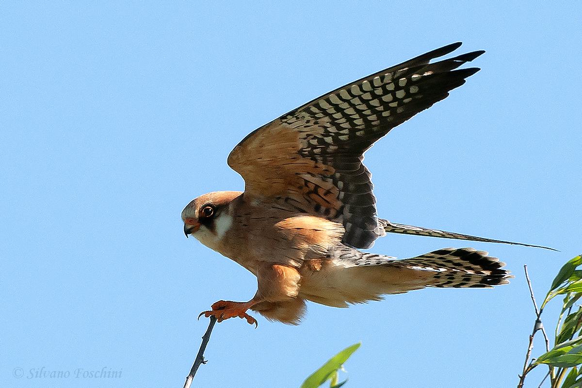 Falco cuculo (Falco vespertinus