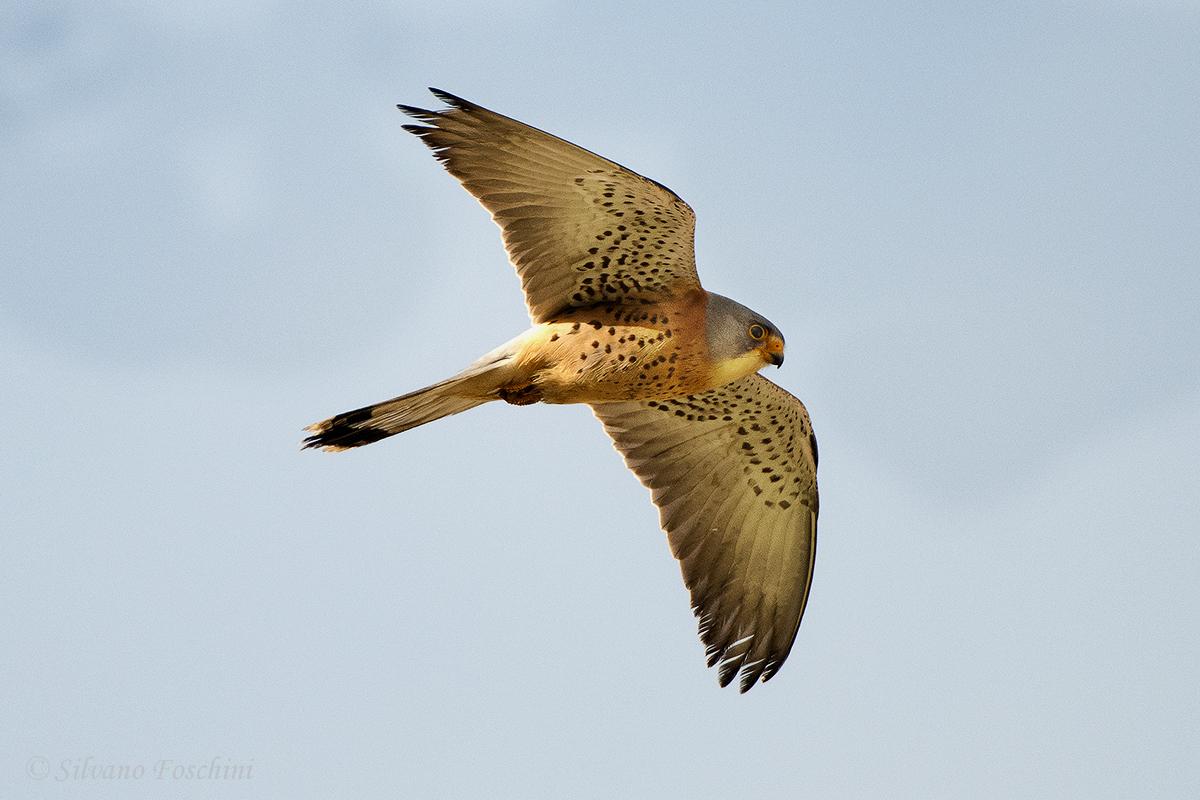 Falco grillaio (Falco naumanni)