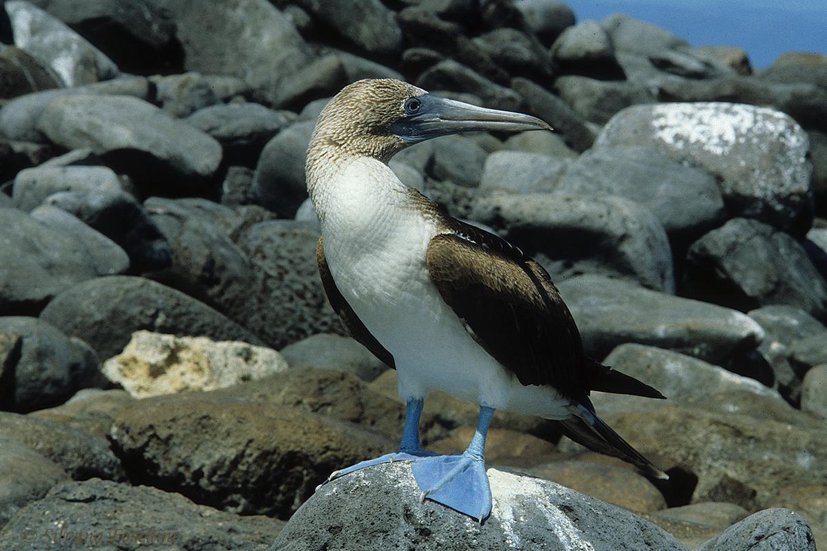 Galapagos \'85-004