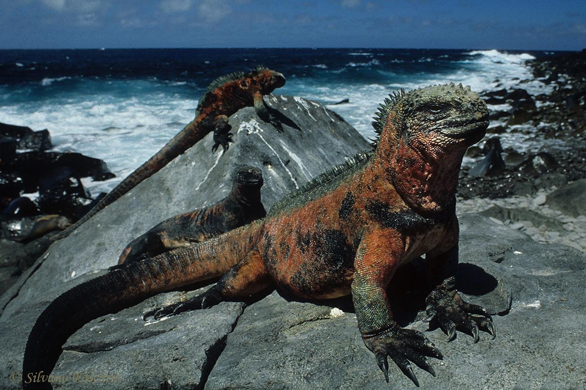 Galapagos \'85-007