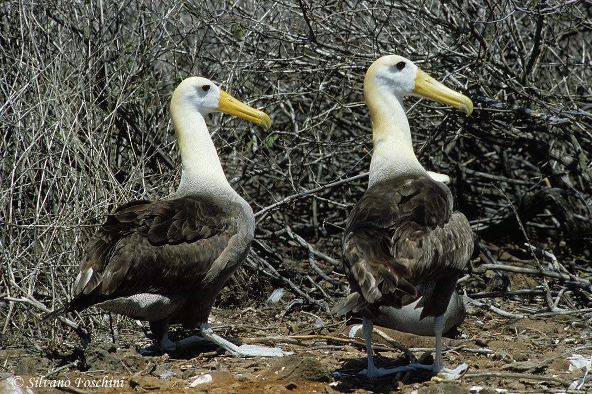 Galapagos \'85-012