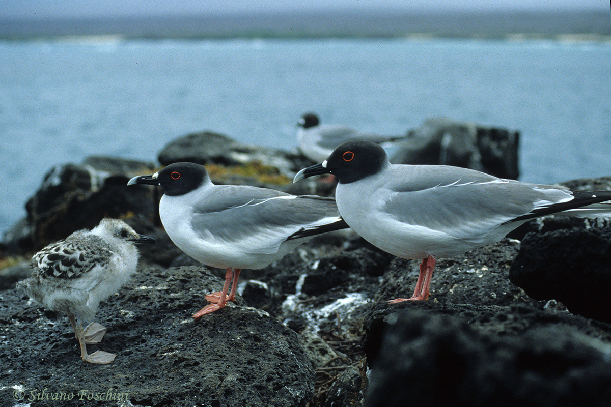 Galapagos \'85-017