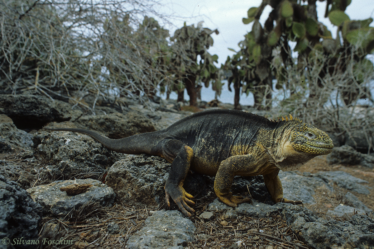 Galapagos \'85-018