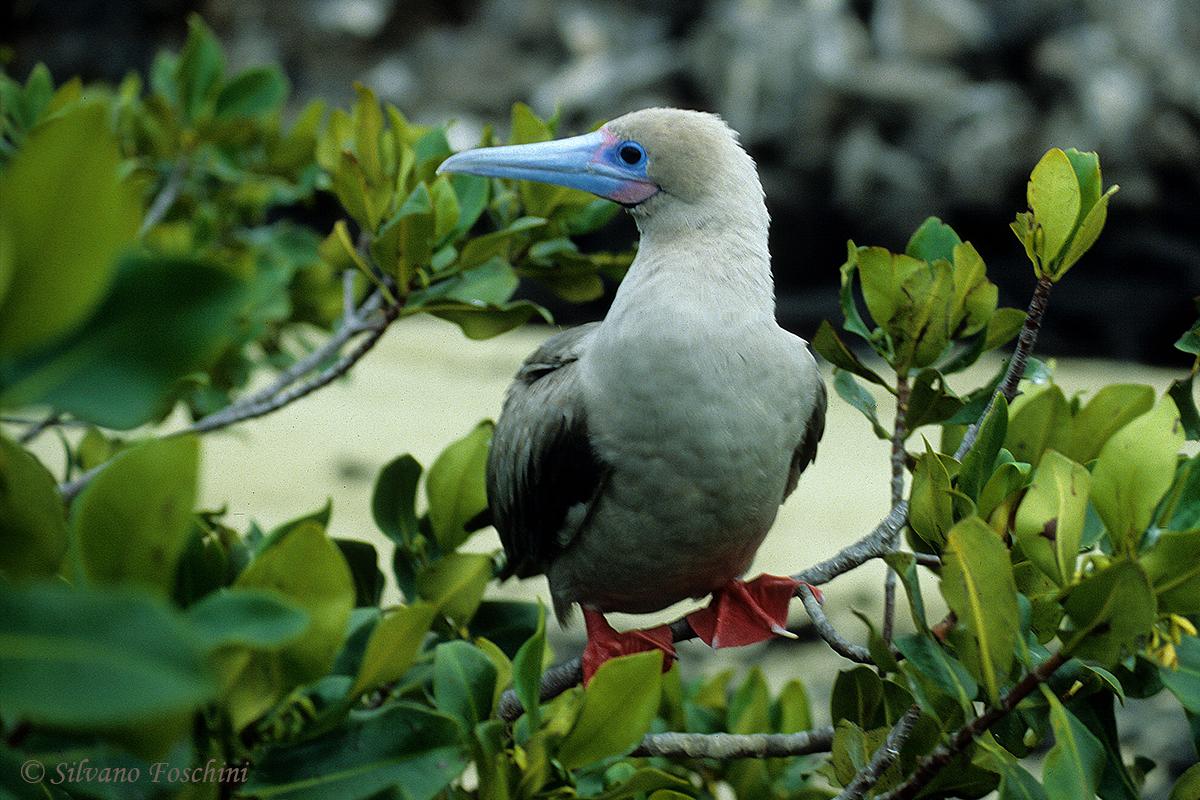 Galapagos \'85-025