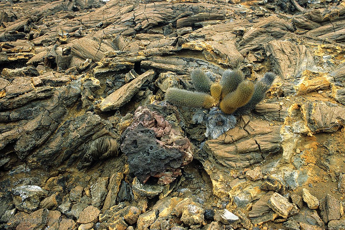 Galapagos \'85-028