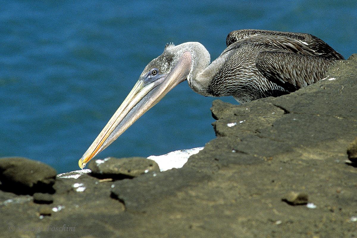 Galapagos \'85-035